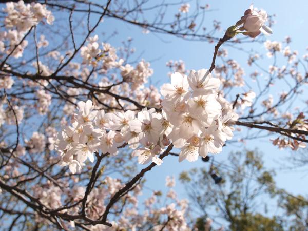 1104見沼女体神社の桜アップ.jpg