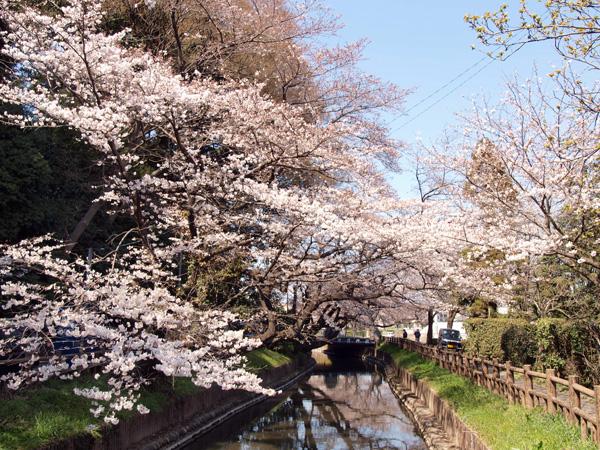 1104見沼女体神社前の桜.jpg
