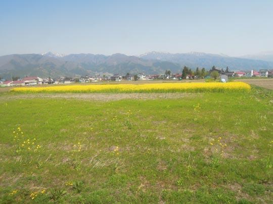 1306湯巡り飯山線沿いの菜の花.jpg